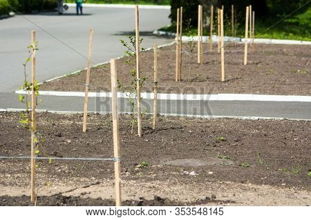 Newly Planted Young Trees Along The Road