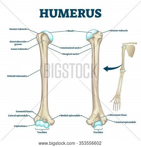 Humerus Bone Labeled Vector Illustration Diagram. Long Bone Type In The Upper Arm. Skeleton Anatomy
