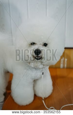 Dog Bichon Frise Standing On The Table