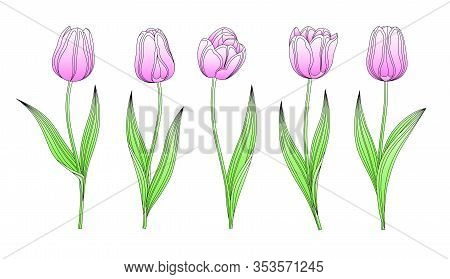 Collection Of Vector Hand Drawn Pink Tulips With Stem And Leaf. Set Of Different Watercolor Spring F