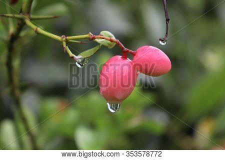 Fresh Christ's Thorn On The Tree With Raindrops