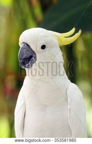 The Yellow-crested Cockatoo (cacatua Sulphurea) Also Known As The Lesser Sulphur-crested Cockatoo, P