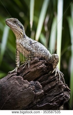 Water Dragon Perched On Trunk In Queensland Australia