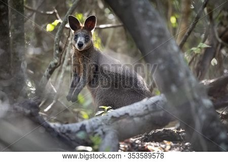 Wallaby In The Wild On East Coast Of Australia
