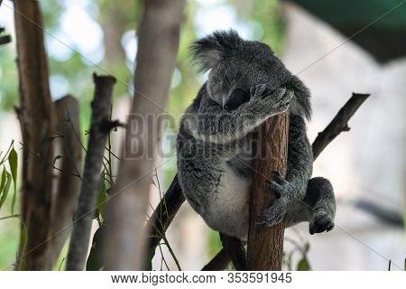 Koala Chilling In Undergrowth In Queensland Australia