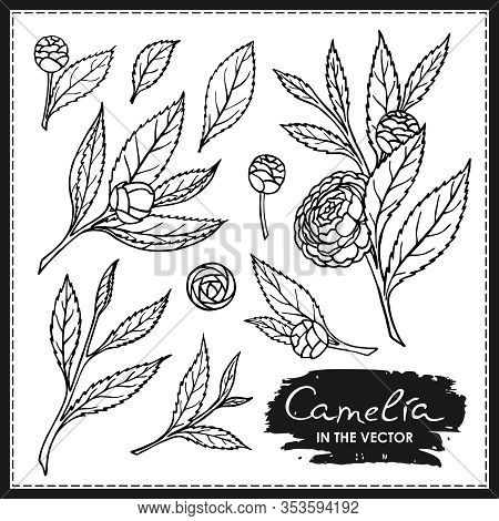 Large Set Of Camellia Flowers And Leaves On A White Background In Vector