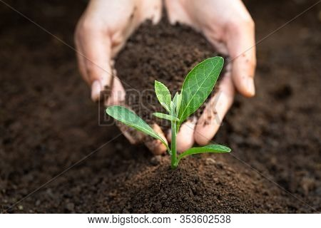 The Soil In The Hands Of Young Women Is Planting Seedlings That Grow From Fertile Soil. Concept Of C