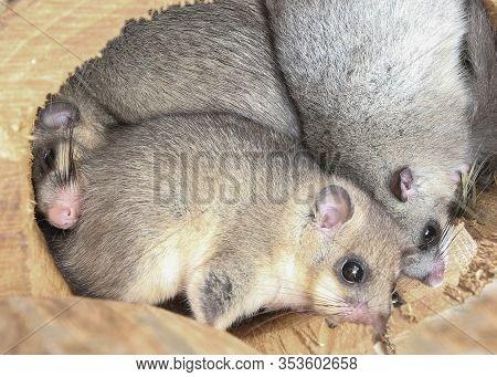The  Edible Dormouse Family, Glis Glis  Hibernates In The Nest