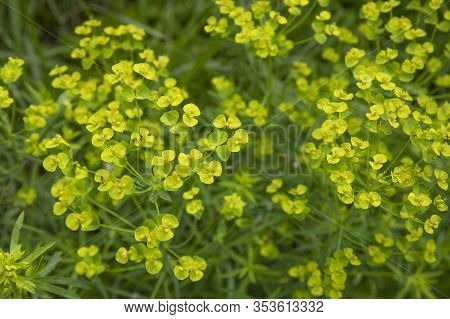Close Up Of The Yellow Flowers Of Cypress Spurge Euphorbia Cyparissias Or Leafy Spurge Euphorbia Esu