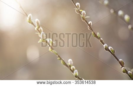 Spring Nature Scene With Pussy Willow Branches, Soft Focus. Blossoming Fresh Willow Branch Closeup I