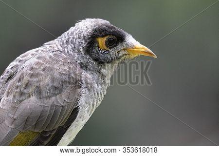 Noisy Miner Bird In Profile In Queensland Australia