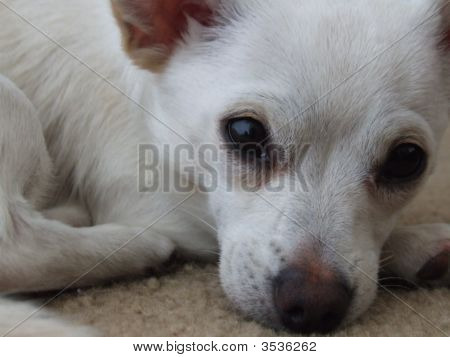 Adorable, Cute, Sweet  Close Up White Puppy Dog