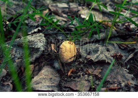 Mushroom Hat Under Dry Leaves. Autumn. Mushroom Season. Green Grass. Harvest In The Forest. Edible A