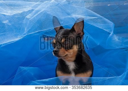 Chihuahua Dog Standing On The Blue Cloth. Chihuahua On Blue Cloth. Chihuahua Black-brown-white Color