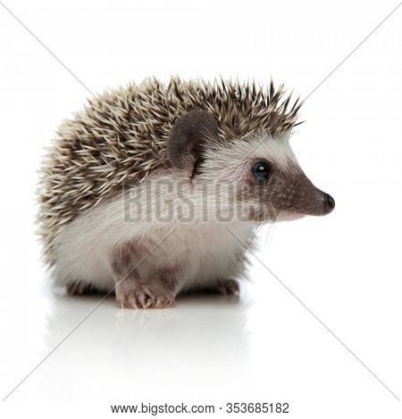 side view of a cute african hedgehog with spiky fur sitting and looking ahead indifferent on white studio background