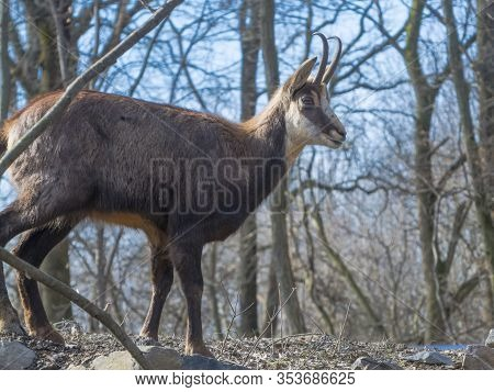 Alpine Chamois In The Winter Forest In Hungary
