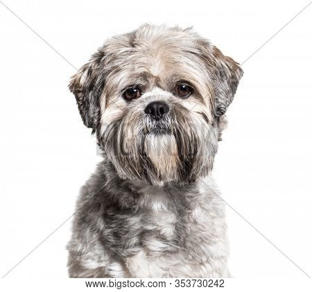 Headshot of a black and white groomed Lhasa Apso, isolated on white