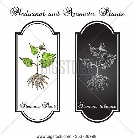 Stemona Tuberosa, Medicinal Plant. Hand Drawn Botanical Vector Illustration
