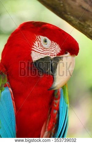 The Red-and-green Macaw (ara Chloropterus), Also Known As The Green-winged Macaw, Portrait Of A Parr