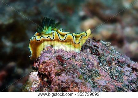 Doriprismatica Atromarginata,colorful Nudibranch In The Ocean On A Rocky Bottom.