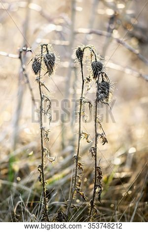 Close View Of Dry Cirsium Plant On Hazy Autumn Morning.