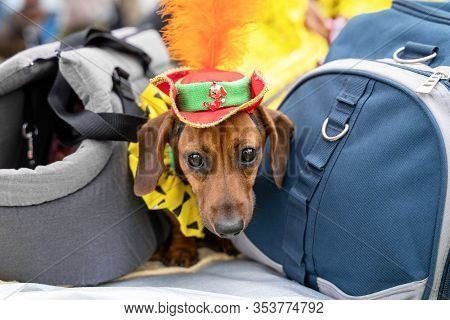 Portrait Dog Of The Red Fat Dachshund Breed In Costume Magician Wearing A Hat With A Feather,  In Th