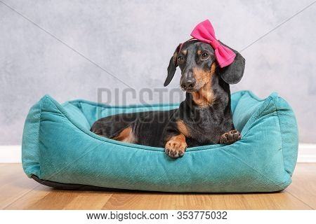 Cute Black And Tan Short-haired Dachshund, Lying In Its Blue Nest With Pretty Vibrant Pink Bow In It