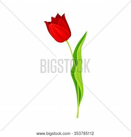 Opened Red Tulip Flower Bud On Green Erect Stem With Blade Vector Illustration