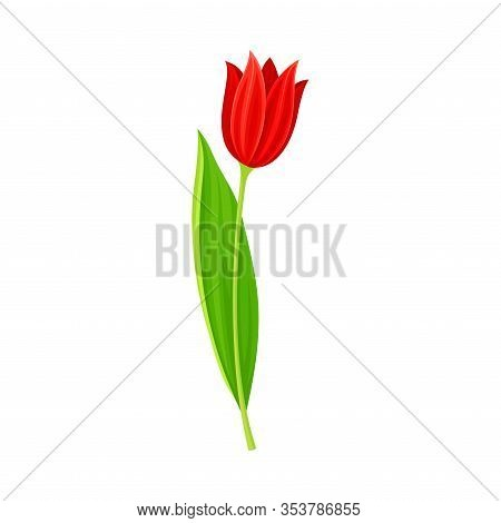 Tulip Flower Bud On Green Erect Stem Isolated On White Background Vector Illustration