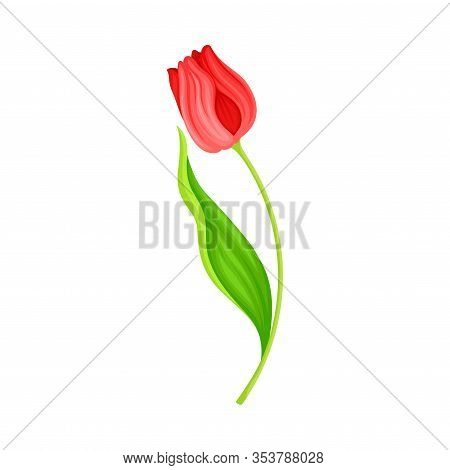 Bended Tulip Flower With Green Pointed Leaf And Erect Stem Isolated On White Background Vector Illus