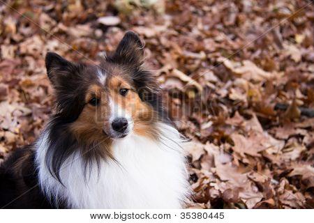 Shetland Sheepdog Sitting In Leaves, Looking At Camera
