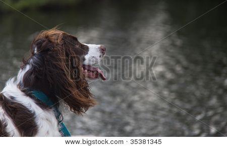 Springer Spaniel Dog Focused & Panting with Lake in Background