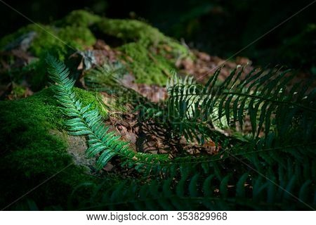 Pacific Northwest Forest Floor. A Lush, Temperate Rainforest Floor Of The Pacific Northwest.