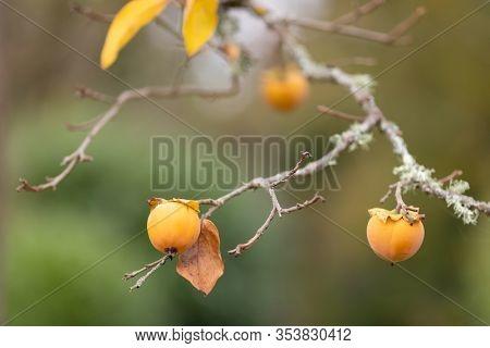 Ripe Kaki fruit hanging on a tree in fall season .