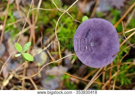 top view of a Violet Webcap mushroom growing in the wet moss of a temperate forest.