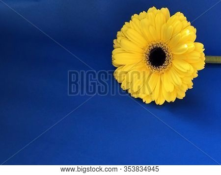 Yellow Flower On Blue Sky Background. Yellow Gerbera. Copy Space. Postcard Design