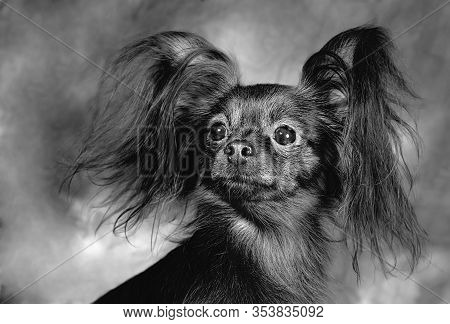 Russian Toy Terrier, Black And White, Pet