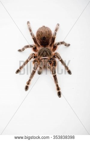 A Chilli Rose Tarantula Spider Isolated On A White Background