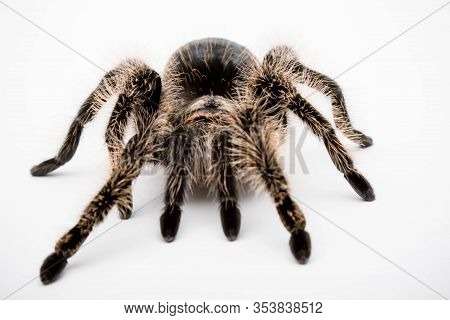 A Honduran Curly Hair Tarantula Isolated On A White Background