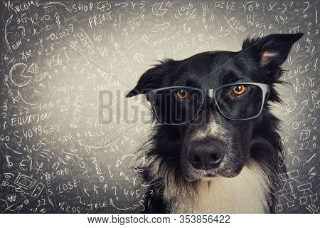 Close Up Portrait Of Thoughtful Dog Wearing Glasses. Purebred Border Collie Nerd Over Grey Backgroun