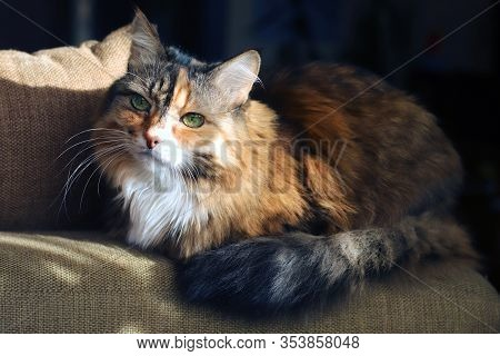 Domestic Cat. Beautiful Old Cat With Green, Smart Eyes. Three-color Cat's Hair: White, Red And Black