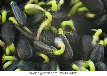 Sunflower Sprouts.microgreen Foliage Background.sprout Vegetables Germinated From High Quality Organ