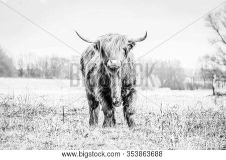 Scottish Highlander A Beautiful Wild Cow With Huge Horns In The Swampy Grass Near The Rainy River Ij