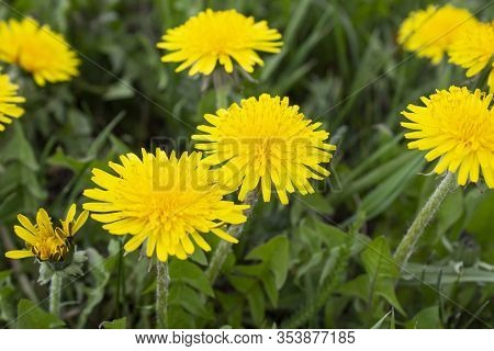 Yellow Daisy Flower. Flower In Garden At Sunny Summer Or Spring Day. Flower For Postcard Beauty Deco