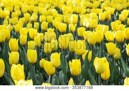Yellow Tulips Flower. Flower In Garden At Sunny Summer Or Spring Day. Flower For Postcard Beauty Dec