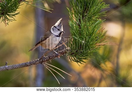 Crested Tit Sitting On Pine Branch. Bird In The Nature Habitat, Portrait Of Songbird Tit With Crest.