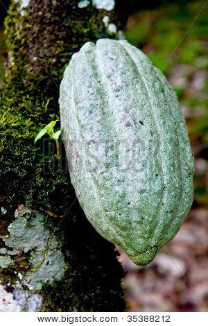Cocoa Pod Green