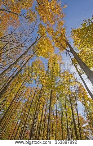 Majestic Canopy Colors In The Fall In The Louis M Groen Nature Preserve In Johannesburg, Michigan