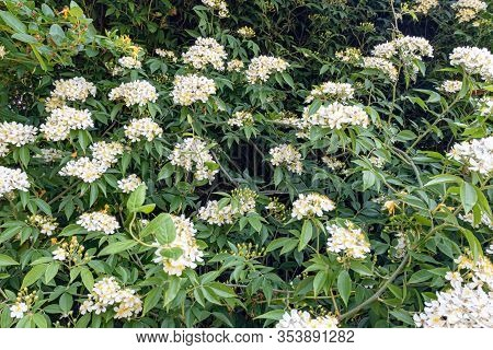 Wild Multiflora Rose Bush, Also Known As Seven-sisters, Baby, Japanese And Rambler Rose, Spring And