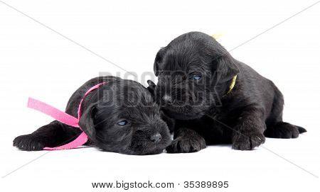 Two Black Puppys Of Miniature Schnauzer